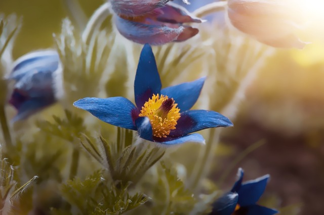 anemone-4196064_960_720.jpg